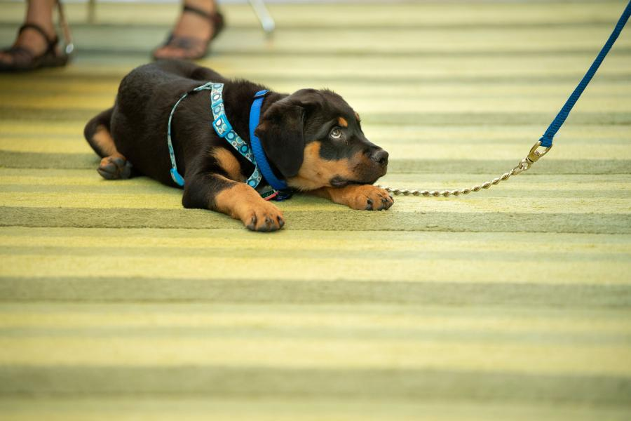 A puppy lies on the carpet in the CVM atrium at Reunion