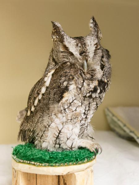 An eastern screech owl that was hit by a car.