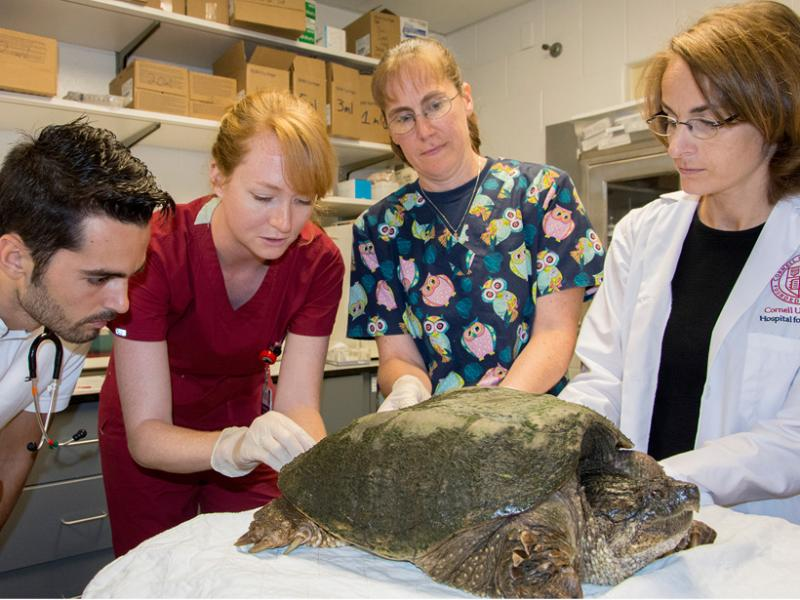 An adult snapping turtle receives an exam.