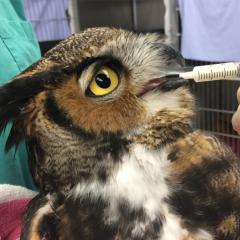 A great horned owl receiving oral medication.