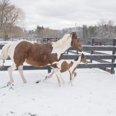 Moe and her foal Tigger enjoy some outdoor time at the Cornell Equine Park.