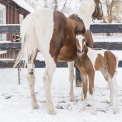 Moe and her foal Tigger stand in the freshly fallen snow at the Cornell Equine Park.