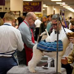 A terrier is groomed in the preparation area at Madison Square Garden