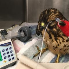 A broadwing hawk receiving treatment for severe head trauma.