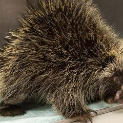 An adult male porcupine with numerous wounds after an attack by a predator.