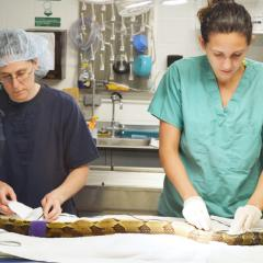 A timber rattlesnake is prepared for surgery.