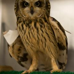 A short-eared owl recovering from repair of a wing fracture.