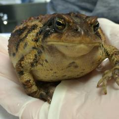 An American toad being treated for a leg fracture.