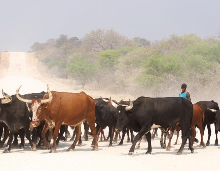 A beef cattle farmer manages his herd in the Zambezi region, Namibia