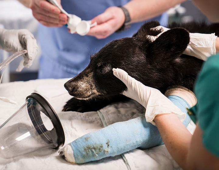 A bear cub with a cast coming out of surgery with veterinarians around her to take off the anesthesiology mask