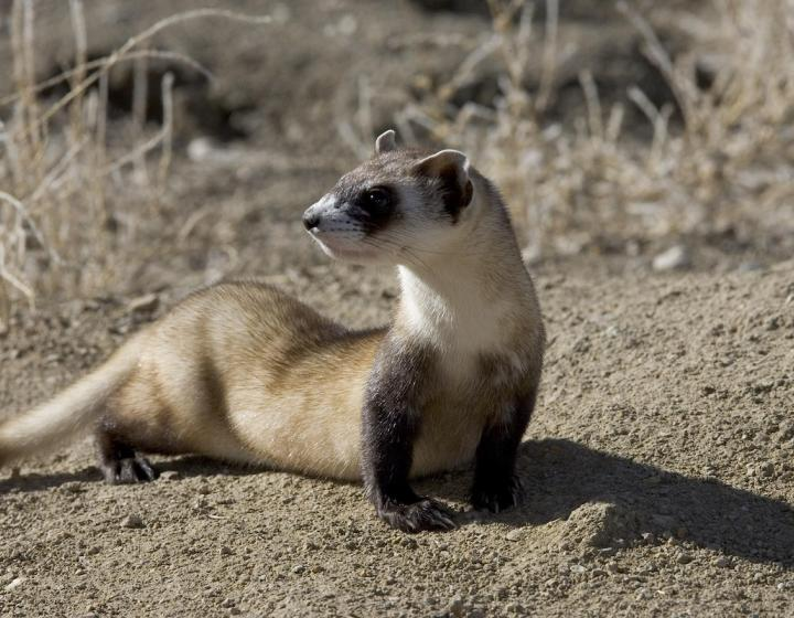 Stock image of black-footed ferret pausing on a rocky terrain