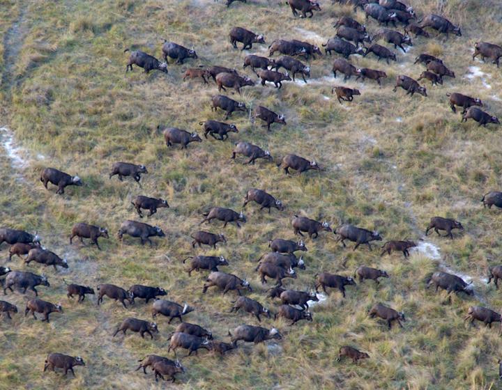 aerial shot of migrating buffalo-photo credit M. Atkinson/AHEAD