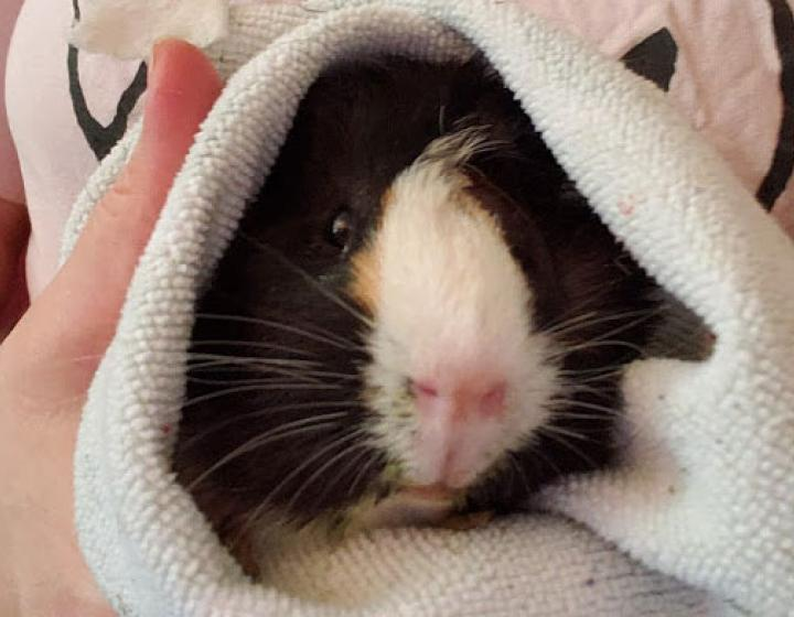 A guinea pig in a towel being held close to a chest by someone wearing an SPCA shirt