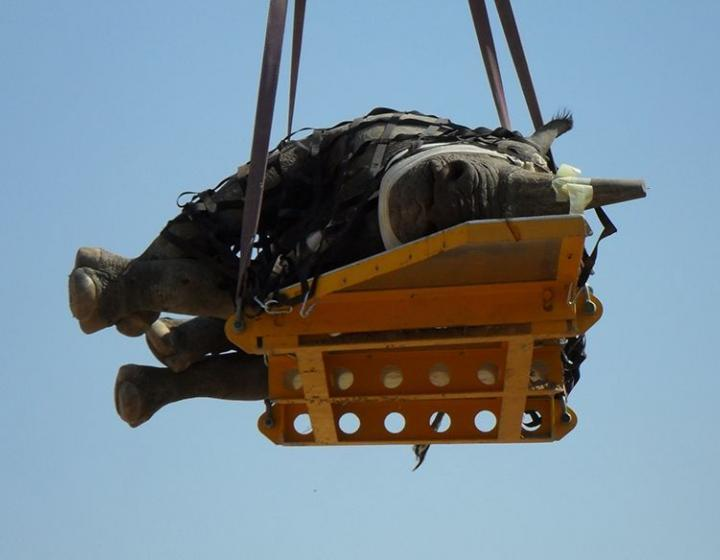 A rhino suspended in the air on its side, in a photo by the Namibian Ministry of Environment