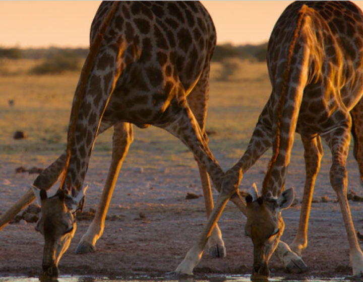 Giraffes drinking water.