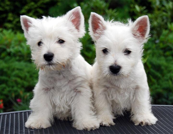 Two white westie puppies