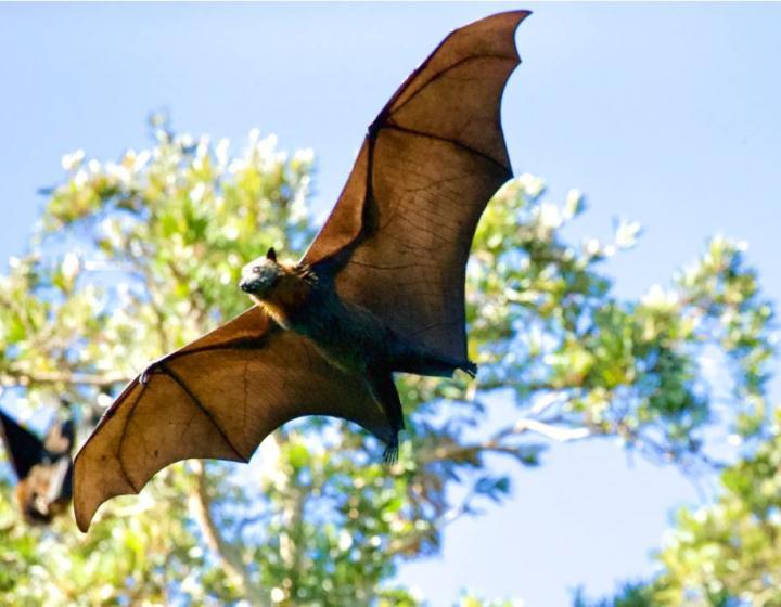 fruit bat flying