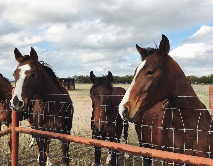horses standing at a fence