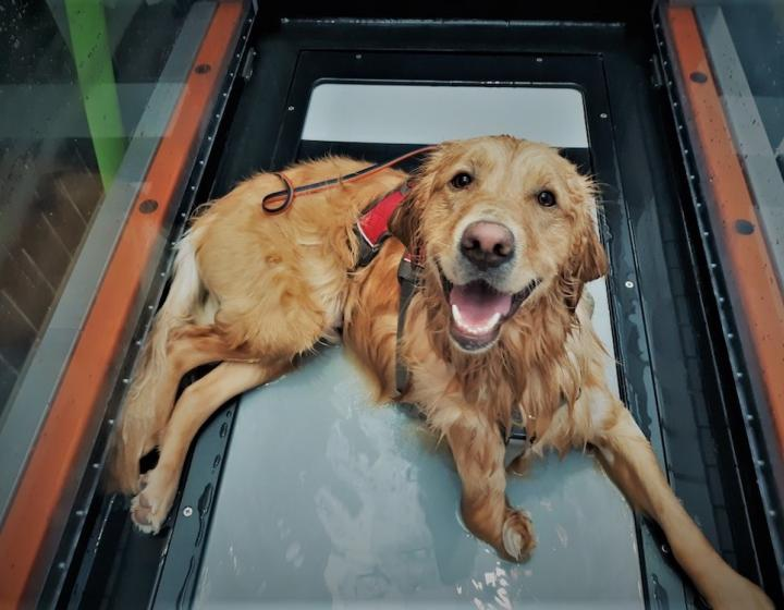 A golden retriever sitting in a water treadmill with a harness on, gazing up at the camera