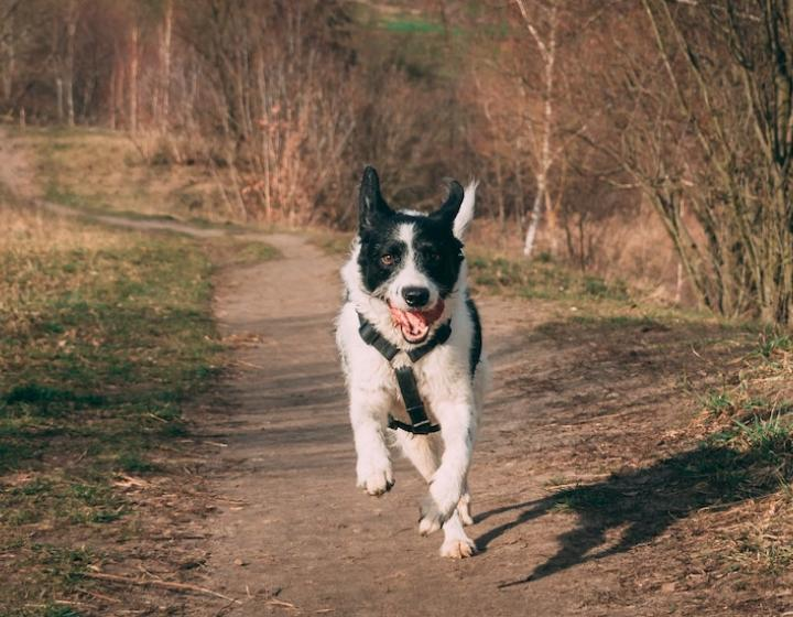 Stock photo of a black and white border collie running towards the camera on a dirt path