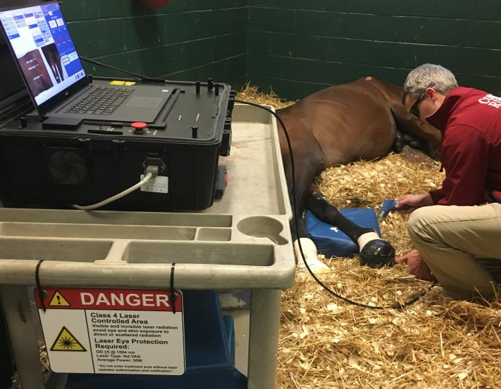 Dr. John Pigott performs regenerative laser therapy on a recumbant horse.