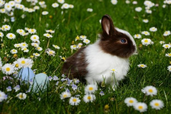 black and white rabbit in field of daisies