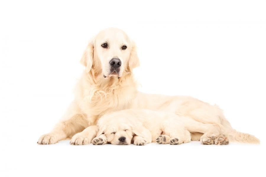Golden retriever mother and her puppy