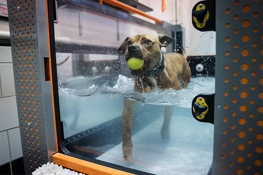 A dog holds a ball in its mouth while walking in an underwater treadmill.