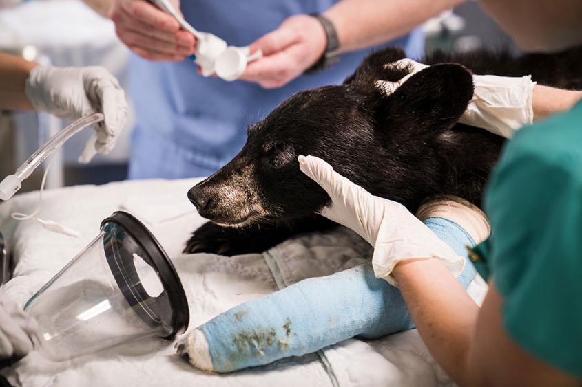 A bear cub after surgery at the CVM wildlife hospital