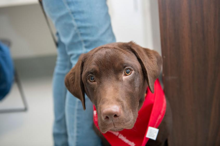 A young Labrador on an exam table at Cornell looks at the camera