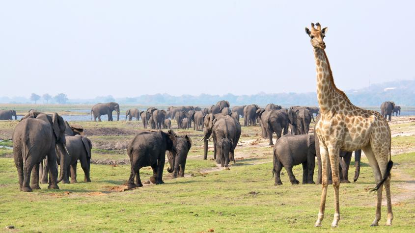 A giraffe stands near elephants in the Kavango Zambezi Transfrontier Conservation Area