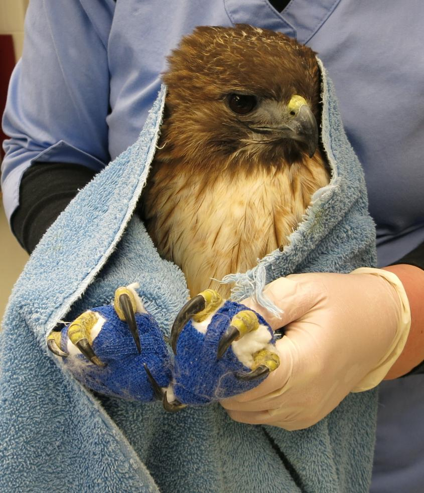 A red-tailed hawk receives treatment for lead toxicity at the Cornell Wildlife Health Center