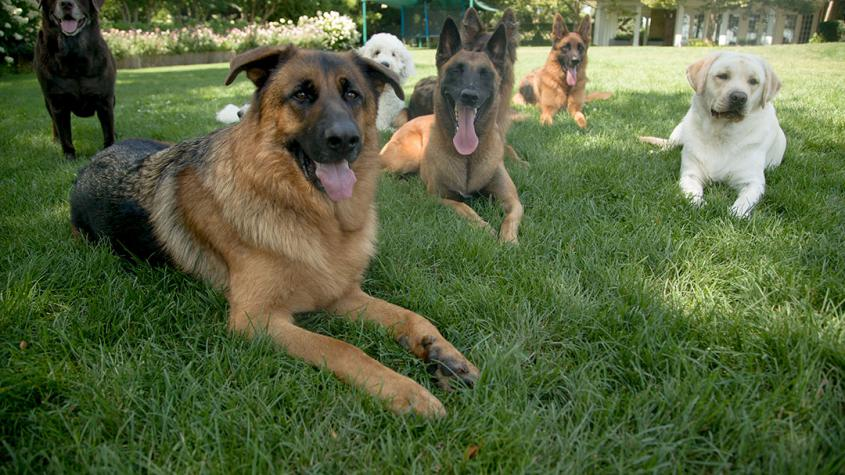Dogs sitting on green grass during summer