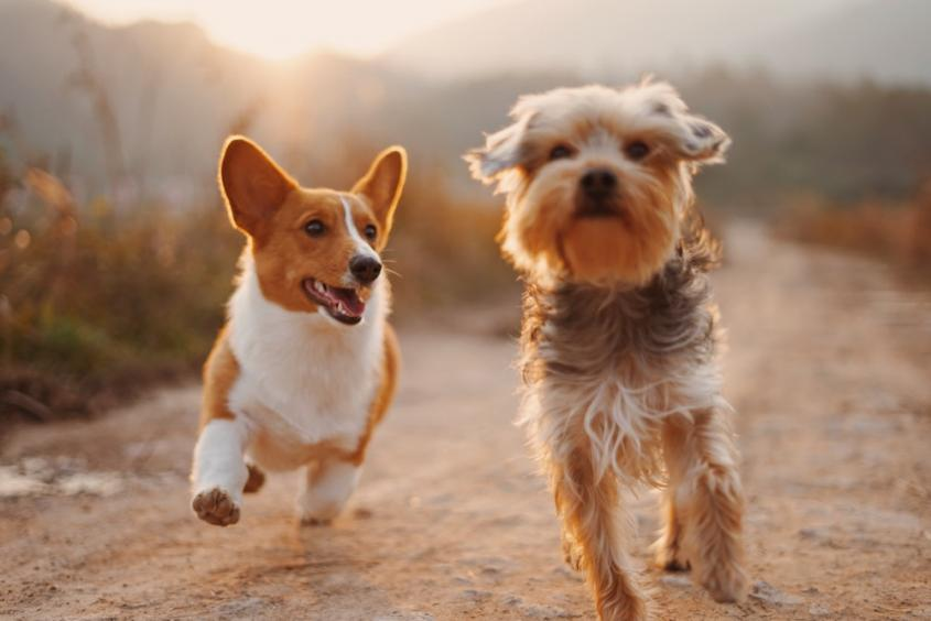 Two brown and white dogs running down a dirt path at sunset