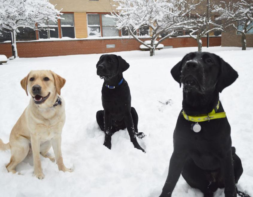 Three Labrador Retrievers play in the snow.
