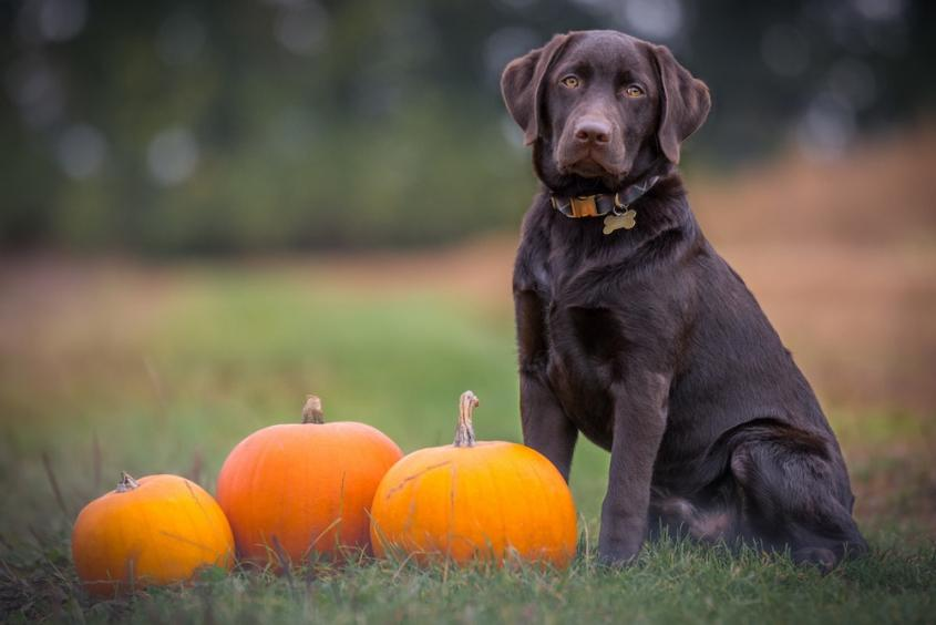 Stock photo of a chocolate Labrador seated upright in a field next to three pumpkins in fall