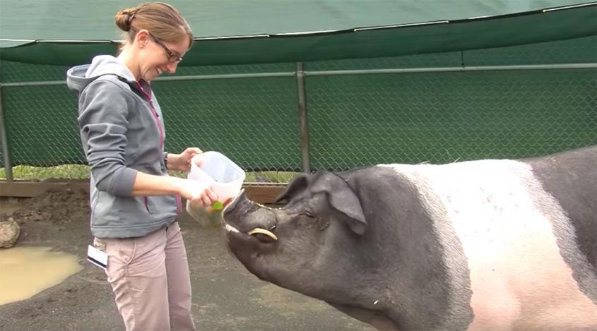 A veterinarian feeding a Hampshire pig