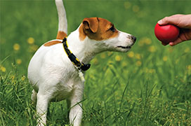 Terrier playing with red ball