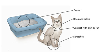Zoonotic Disease What Can I Catch From My Cat Cornell University College Of Veterinary Medicine